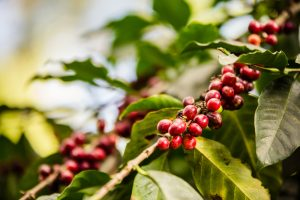 finca-25_our_coffee_prueba_01